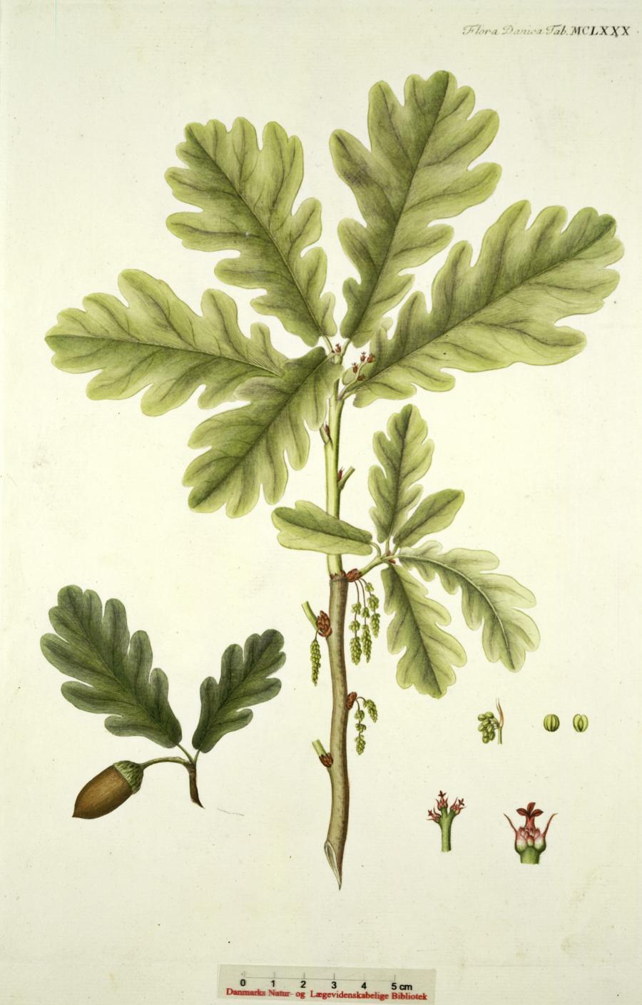 En tegning af et egetræsblad lavet af Jens Wilken Hornemann i 1797.