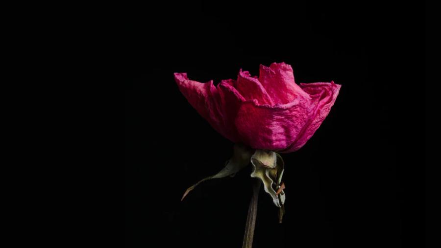 """I Oscar Wildes novelle """"Nattergalen og rosen"""" ofrer nattergalen sit liv for at skaffe en rød rose til studenten."""