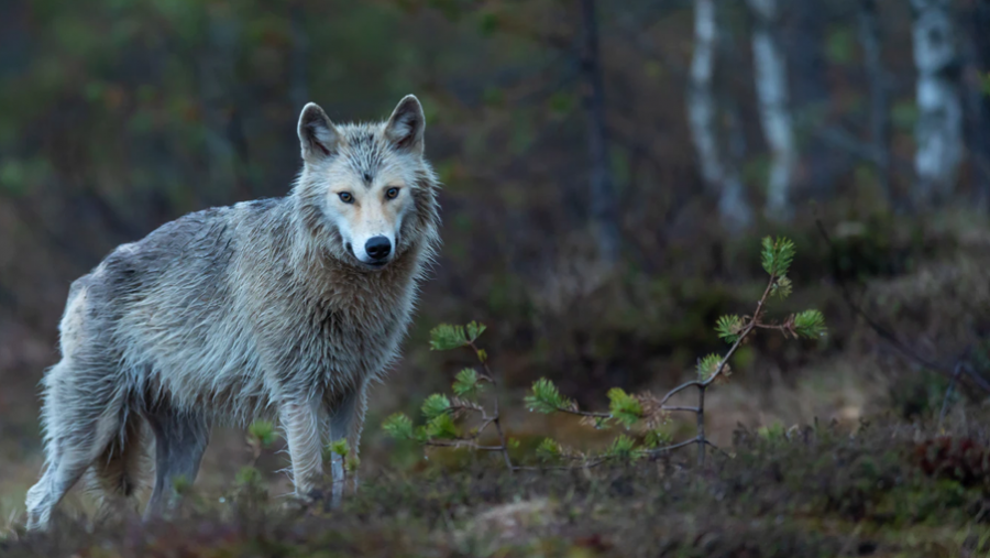 'Ulven' er titlen på første roman i Køge-krøniken, som er skrevet af Katrine Marie Guldager.